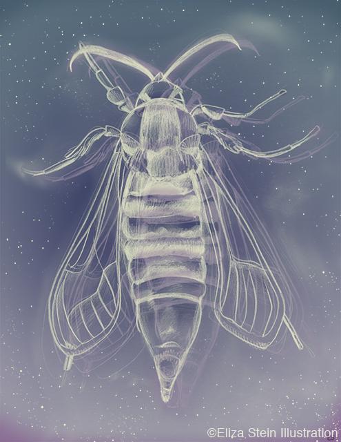 Hornet Moth Illustration